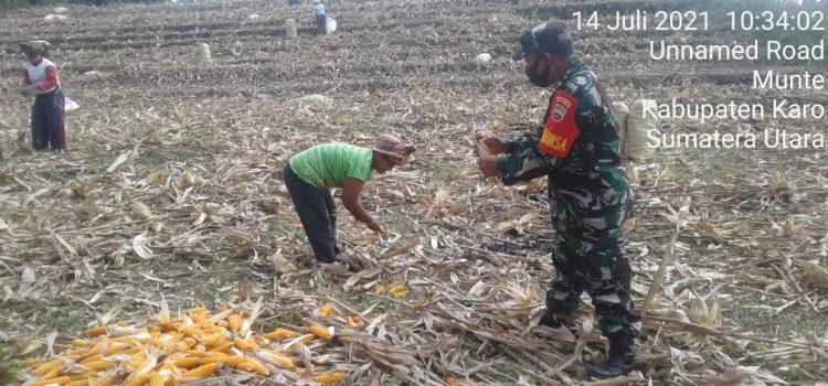 Personel Koramil 06/MT Dampingi Kelompok Tani Pusung-pusung Panen Jagung
