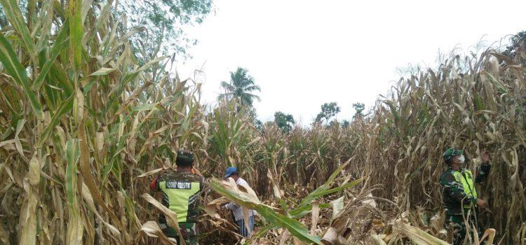 Babinsa Koramil 08/TB Lakukan Pendampingan Panen Jagung Bersama Warga Desa Simolap